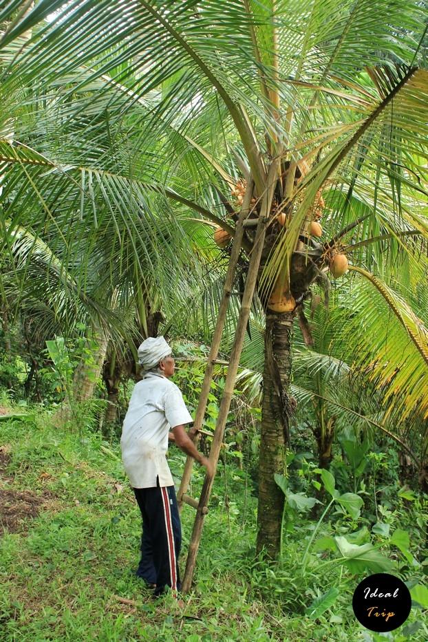 Балиец достает кокос