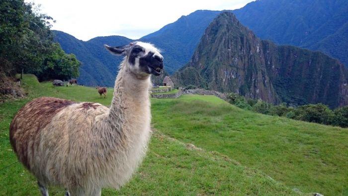 Альпака в Мачу-пикчу