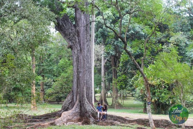 Пара Шри Ланкийцев и красивое дерево в ботаническом саду Канди