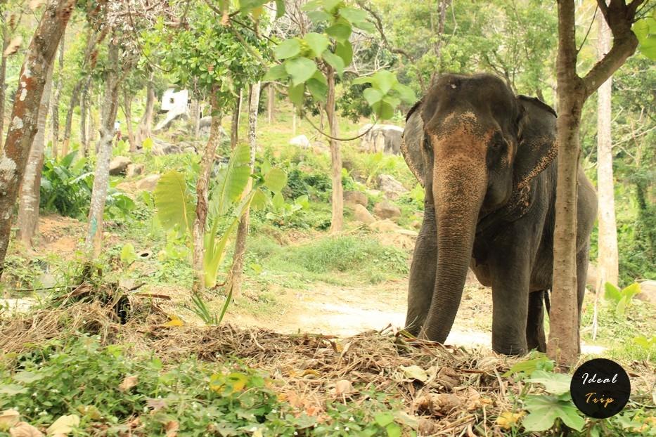 Слон на Пхукете