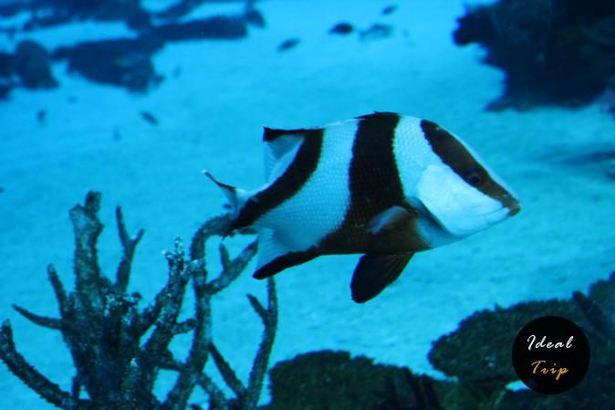 Полосатая рыбка в океанариуме Сингапура