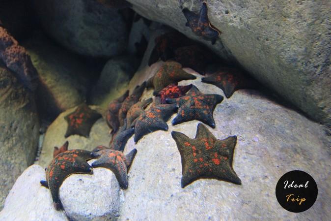 Морские звезды в океанариуме Сингапура на Сентозе