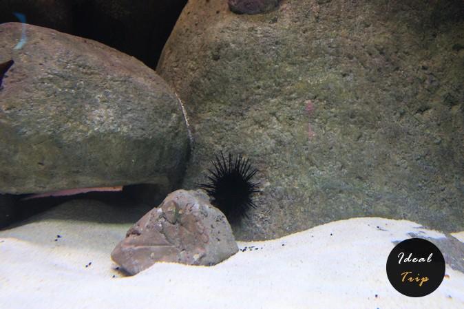 Морские ежи в океанариуме Сингапура на Сентозе