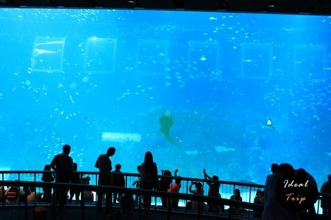 Скат в океанариуме Сингапура на Сентозе
