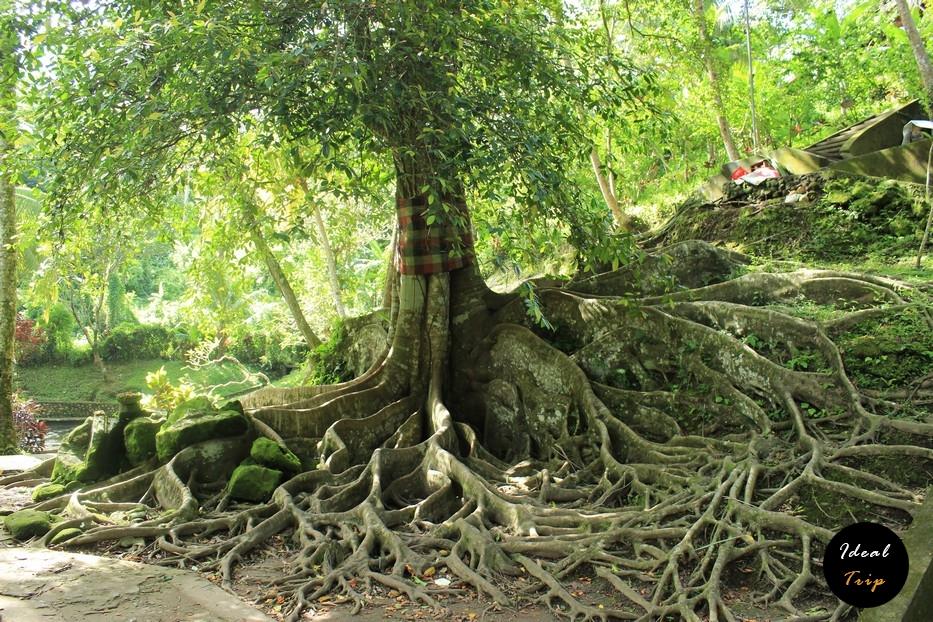Извилистое дерево на Бали