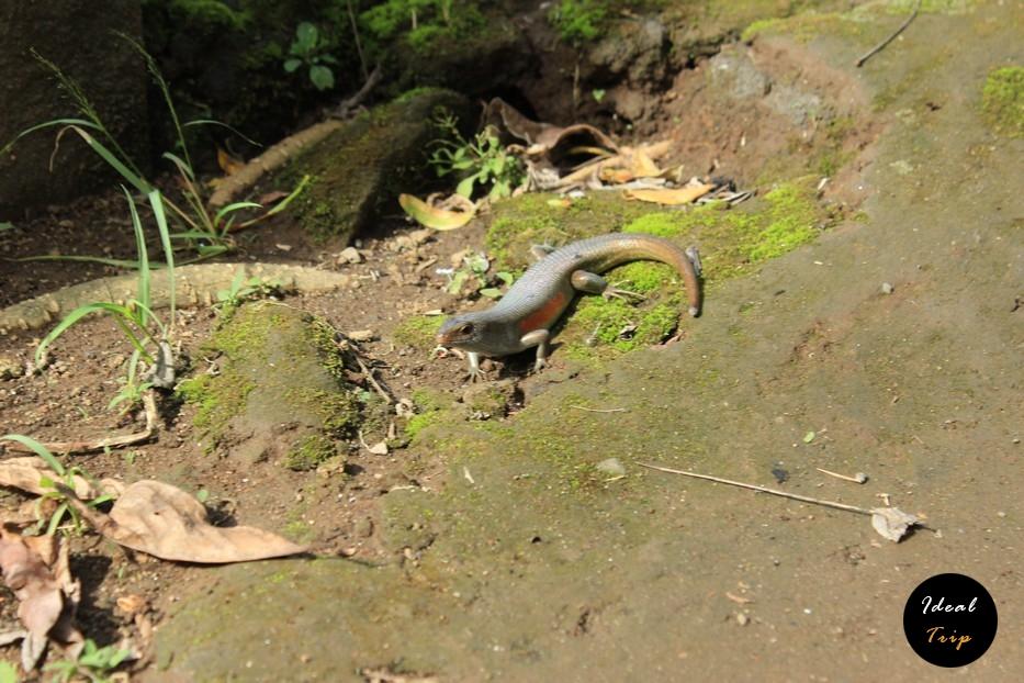 Ящерица на Бали