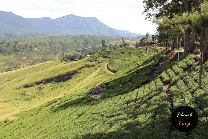 Чайные плантации в долинах Нувара Элия