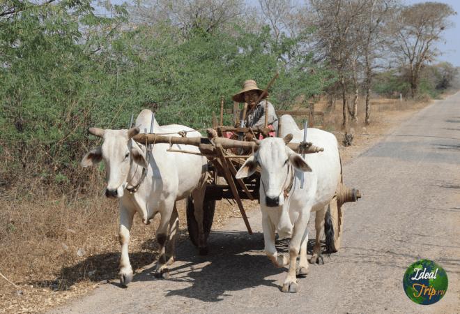 Горбатые быки в Мьянме
