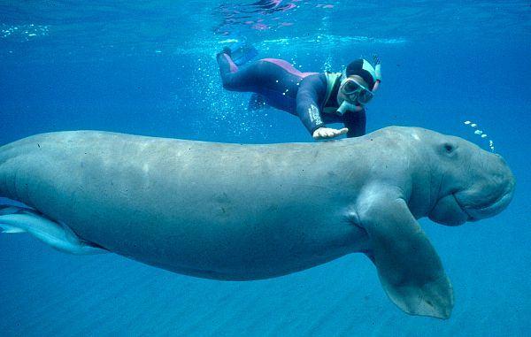 Морская корова Дюгон