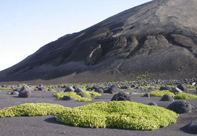 Растения на острове Суртсей в Исландии