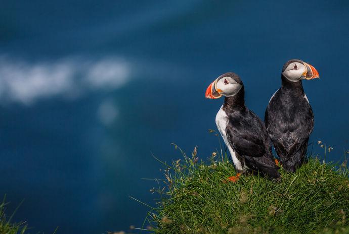 Птицы Тупики в Исландии